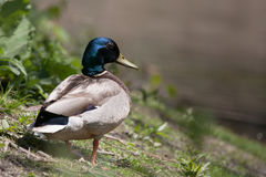 Mallard Duck on the Pond Edge Stock Photos