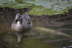 Mallard Duck Pond Stock Photo