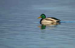 Mallard duck on a pond. Male mallard duck floating quietly on the water pond Stock Photography
