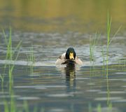 Mallard duck on a pond Stock Photo