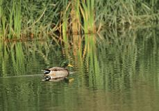 Mallard duck on a pond Stock Image