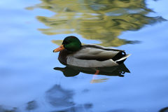 Mallard duck in pond Royalty Free Stock Image