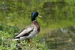 Mallard duck at a pond Royalty Free Stock Images