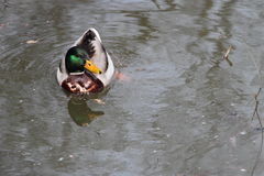Mallard Duck In A Pond. Photographed from above; a colorful mallard duck swims in a muddy pond Royalty Free Stock Images