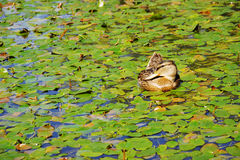 Mallard duck on a pond surrounded by water lilies Stock Images
