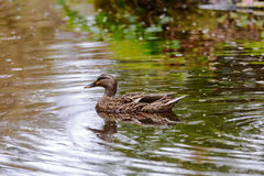 Mallard duck in a pond Royalty Free Stock Images