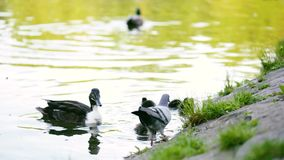Mallard duck in pond. Mallard, wild duck - Anas platyrhynchos. Duck with ducklings on walk floating in the pond water, in city park outdoors stock video
