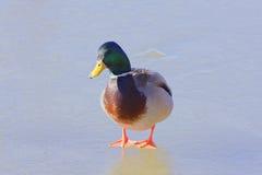 Mallard Duck Portrait Immagini Stock Libere da Diritti