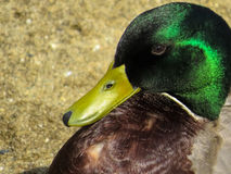 Mallard duck portrait. Beautiful mallard head close up Royalty Free Stock Photography