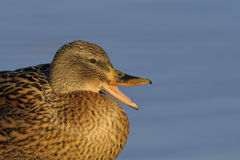 Mallard duck portrait. Portrait of a female mallard duck Stock Images