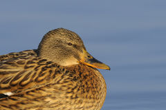 Mallard duck portrait. Portrait of a female mallard duck Stock Photo