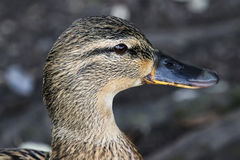 Mallard Duck Portrait Stock Images