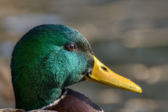 Mallard duck - portrait. Mallards occur throughout North America and Eurasia in ponds and parks as well as wilder wetlands and estuaries Stock Images