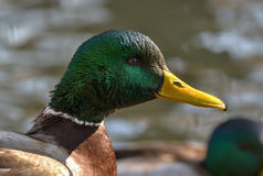Mallard duck - portrait. Mallards occur throughout North America and Eurasia in ponds and parks as well as wilder wetlands and estuaries Stock Photo