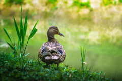 Mallard duck portrait in nature. Cute mallard duck in the grass Royalty Free Stock Photography