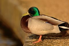Mallard duck portrait. Side view of a mallard duck perched on a stone wall by the waters edge Stock Images