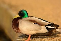Mallard duck portrait. Side view of a mallard duck perched on a stone wall by the waters edge Stock Photography