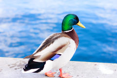 Mallard duck. Posing on the sea wall by the edge Stock Images