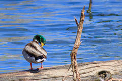 Mallard duck preening its wing feathers. Standing on a log Royalty Free Stock Photo
