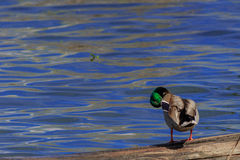 Mallard duck preening itself. While standing on a log on a lake Stock Photo