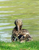 Mallard duck. Preening it's feather near a lake, selective focus Stock Photo