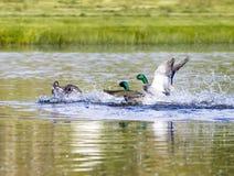 Mallard Duck Prepares For Attack. A mallard duck prepares to attack a competing male in his pond Stock Photo