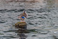 Mallard Duck Pruning. Mallard Duck on pylon in water pruning feathers Royalty Free Stock Photography