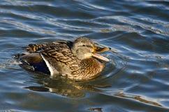 Mallard Duck Quacking e nuoto nell'acqua Immagine Stock