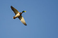 Mallard Duck Quacking While it Flies in a Blue Sky Royalty Free Stock Photography