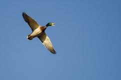 Mallard Duck Quacking While qu'il pilote dans un ciel bleu photographie stock libre de droits