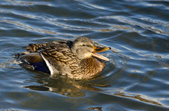 Mallard Duck Quacking and Swimming in the Water. Female Mallard Duck Quacking and Swimming in the Water Stock Image