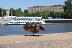 Mallard duck on a quay Royalty Free Stock Photography