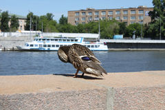 Mallard duck on a quay. Mallard duck with a ship on a background Stock Photography