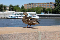 Mallard duck on a quay. Mallard duck with a ship on a background Stock Photo