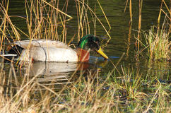 Mallard duck in reeds Stock Images