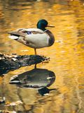 Mallard duck reflecting in the water. Mallard duck standing on river bank. The reflection of duck and yellow autumn  leaves is visible in the water Stock Photo
