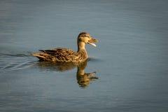 Mallard Duck. Reflection  Quacking  Swimming Stock Image