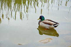 Mallard duck on reflective pond. Colorful mallard duck on reflective pond Royalty Free Stock Image