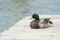 Mallard duck restin on dock. Male Mallard Duck resting on wooden dock Stock Photo