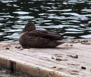 Mallard Duck. Resting on dock beside lake in late summer Royalty Free Stock Photos