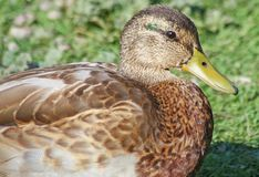 Mallard duck resting on land Stock Images
