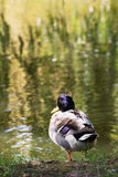 Mallard duck resting by the pond. In the park Royalty Free Stock Photo
