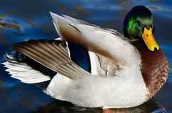 Mallard Duck Resting on the Water. Male Mallard Duck Resting on the Water Royalty Free Stock Photo