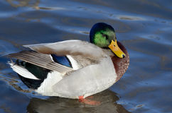 Mallard Duck Resting on the Water. Male Mallard Duck Resting on the Water Stock Photography