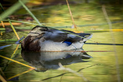 Mallard duck resting in water. A mallard duck rests while floating among the weeds Stock Images