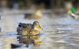 Mallard duck. On the river Stock Photos