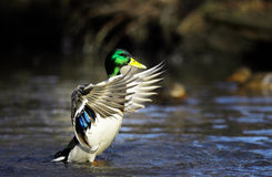 Mallard duck on the river blur. Mallard duck on the river Stock Image