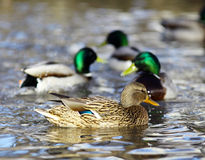 Mallard duck on the river blur. Mallard duck on the river Royalty Free Stock Photos