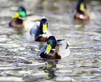 Mallard duck on the river blur. Mallard duck on the river Stock Photo