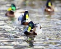 Mallard duck on the river blur Stock Photo